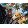 produit en cours d'utilisation GoPro Fetch Dog Harness